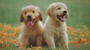 Pet Grooming Temecula Labrador Puppies